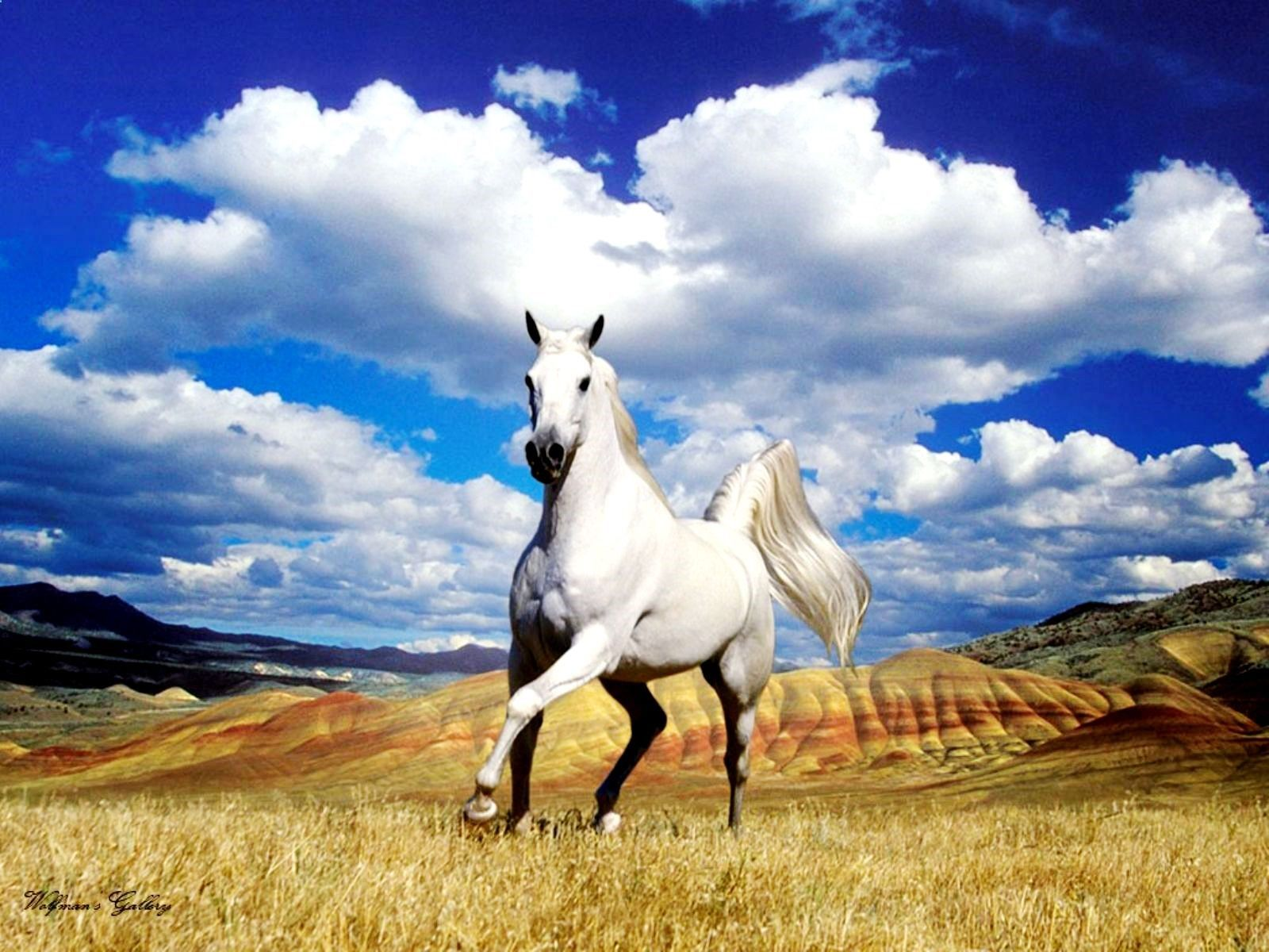 Horses Running White Horses Hd Wallpapers Download Free Wallpapers