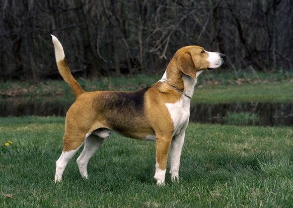 The 15 Rarest Dog Breeds In The United States Harrier Dog Rare