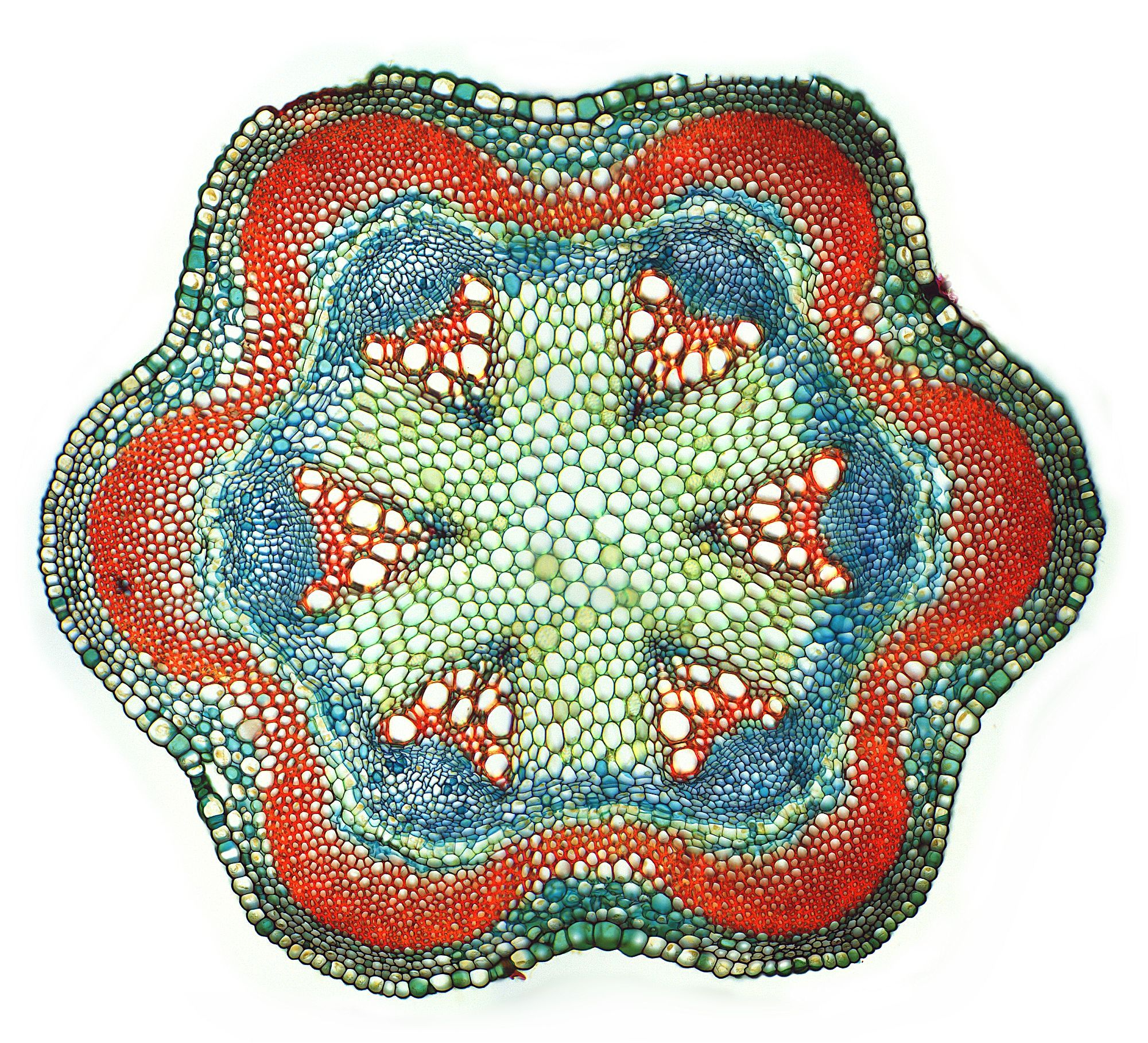 Clematis Macro Cell Structure