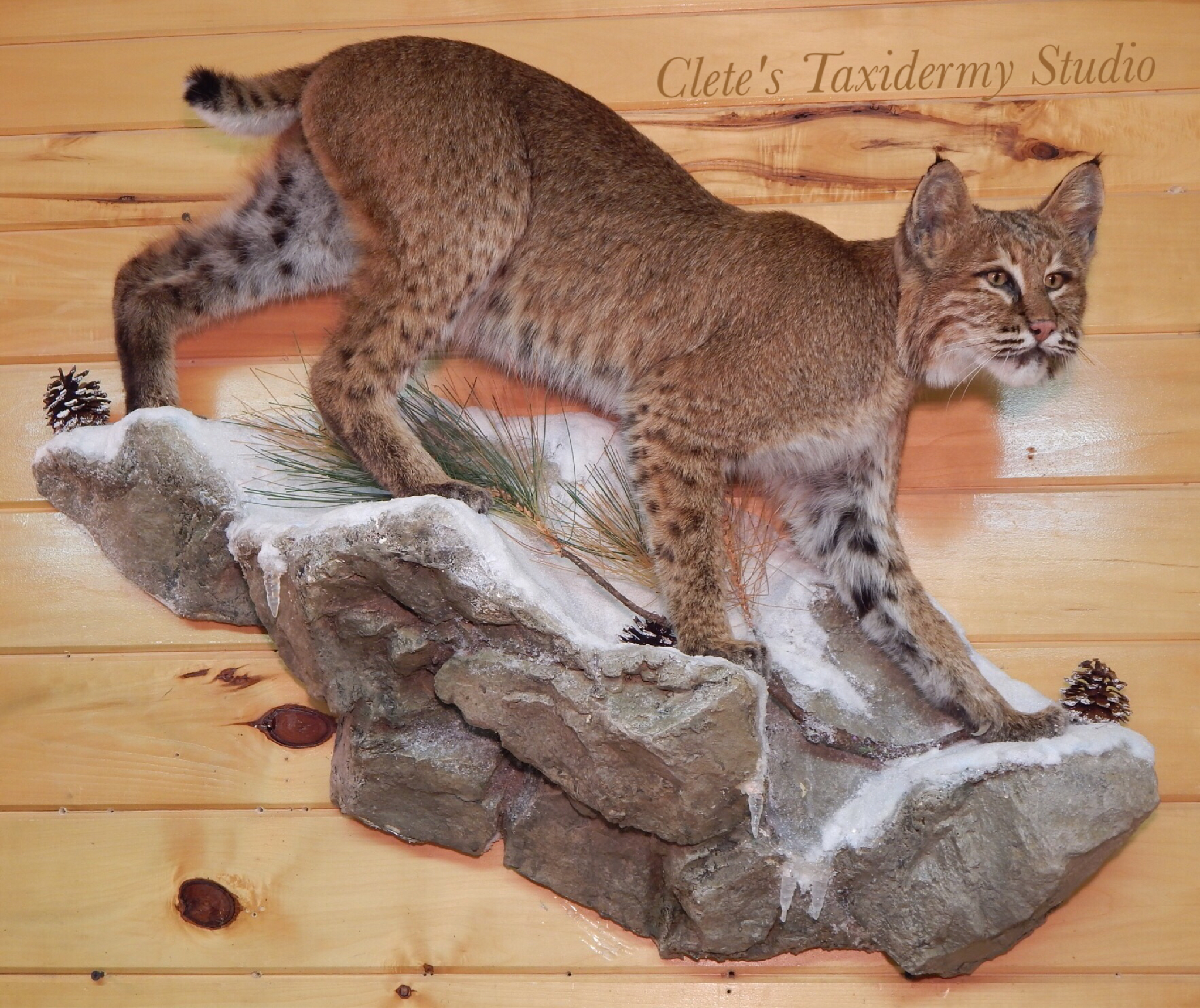 Bobcat lifesize wall hanging mount mounts pinterest for Ebensburg hunting and fishing