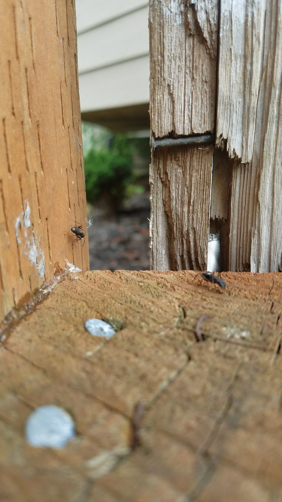 Carpenter ants problems Bellevue Ant problem, Carpenter