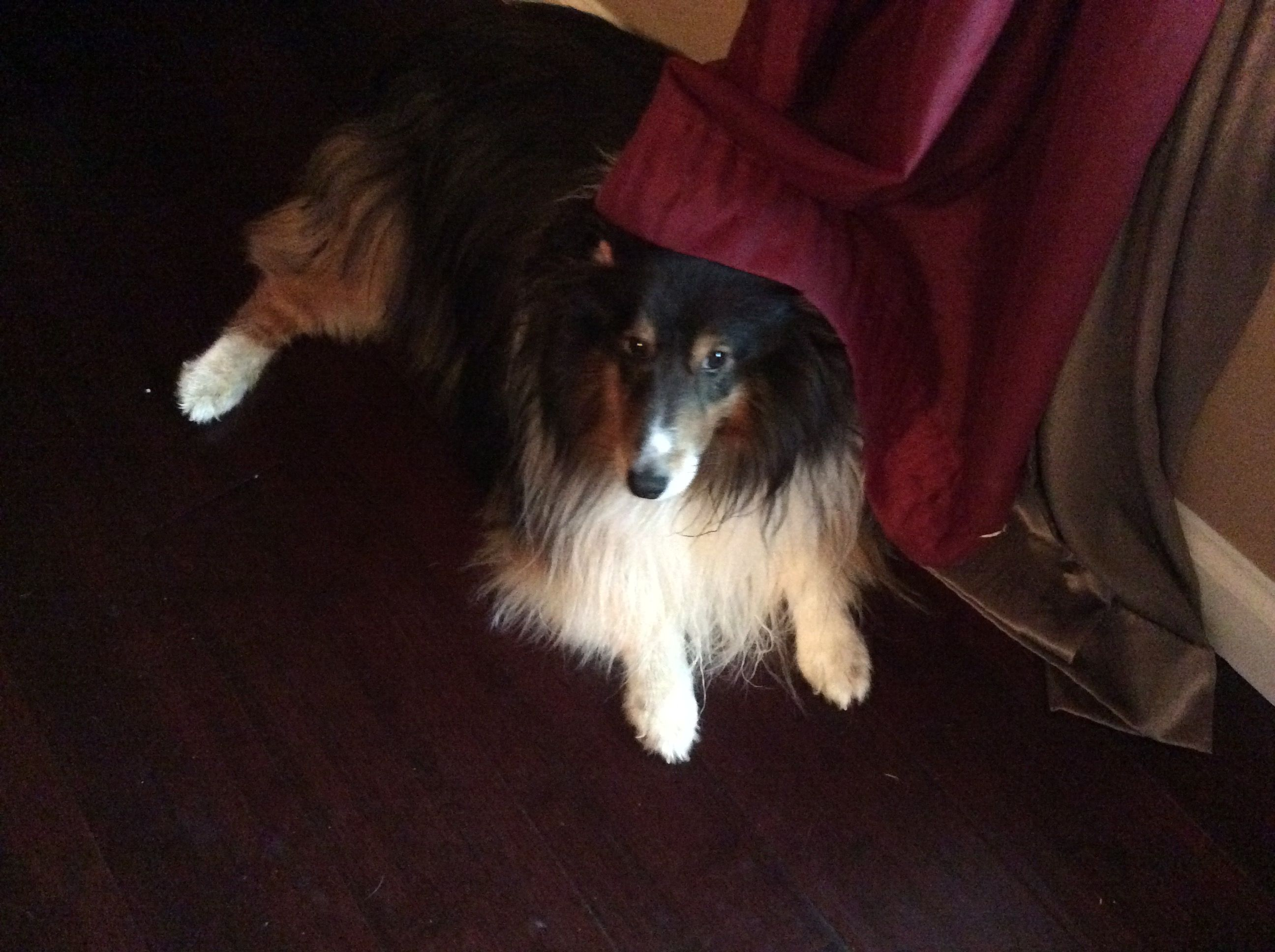 Sheltie Image By Wendy Smith On Love My Shelties