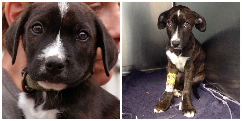 Orange County Pitbull Rescue Ocpbr S New Precious Puppy Booker