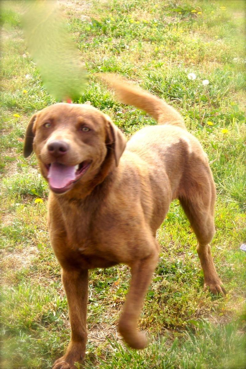 Adopt Duke on Retriever dog, Dog adoption, Dogs