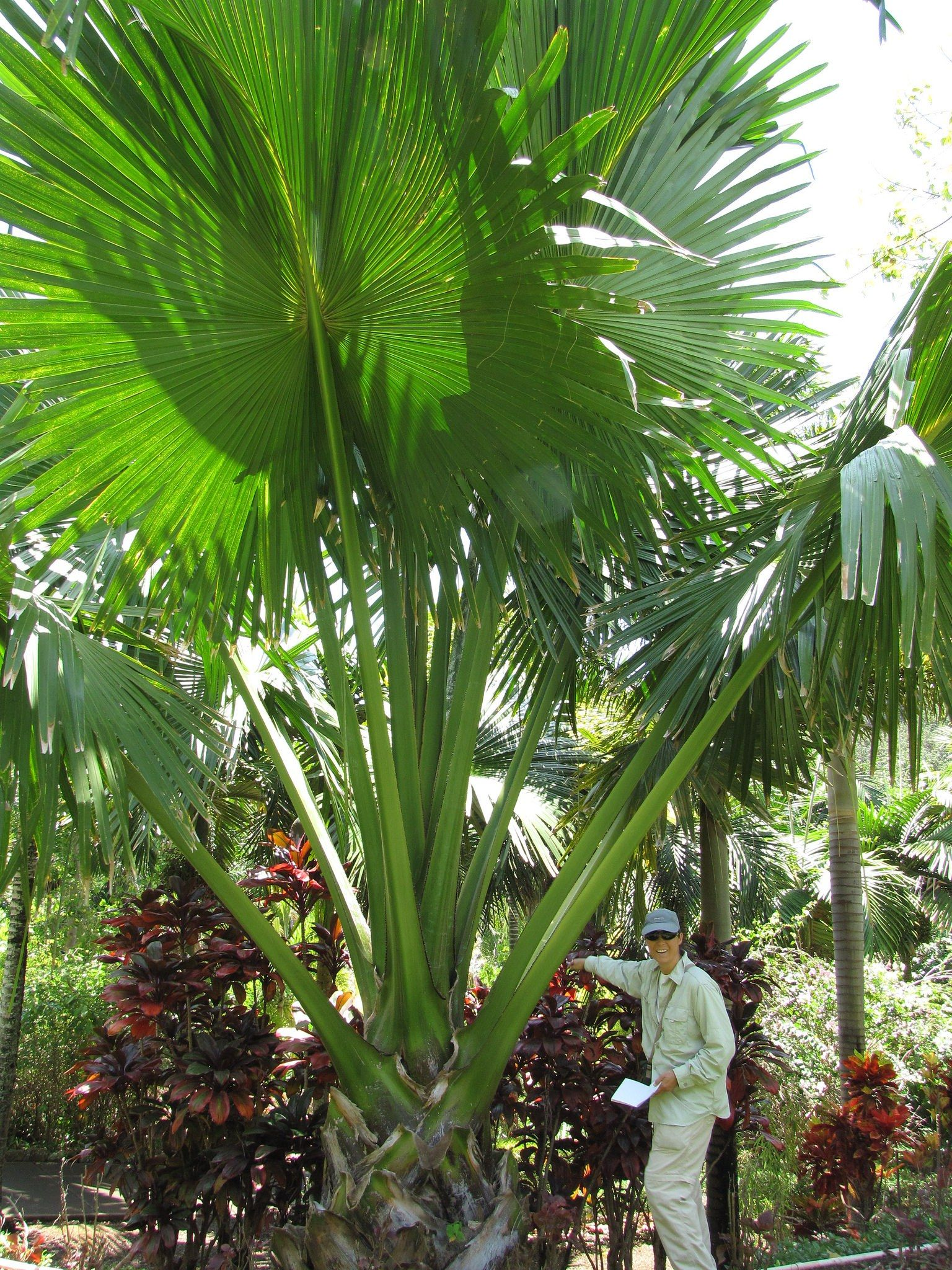 corypha umbraculifera botanique tropicale palmeras. Black Bedroom Furniture Sets. Home Design Ideas