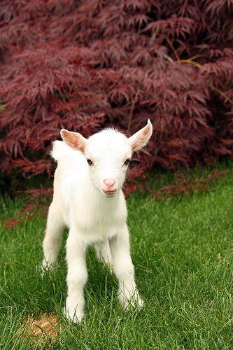 Nigerian Dwarf Goat   Flickr - Photo Sharing!