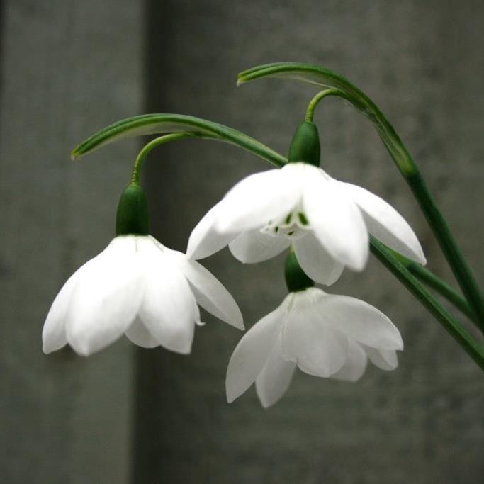 Galanthus Elwesii Godfrey Owen Collectable Rare Snowdrop Bulb Witte Bloemen Bloementuin Bloemen