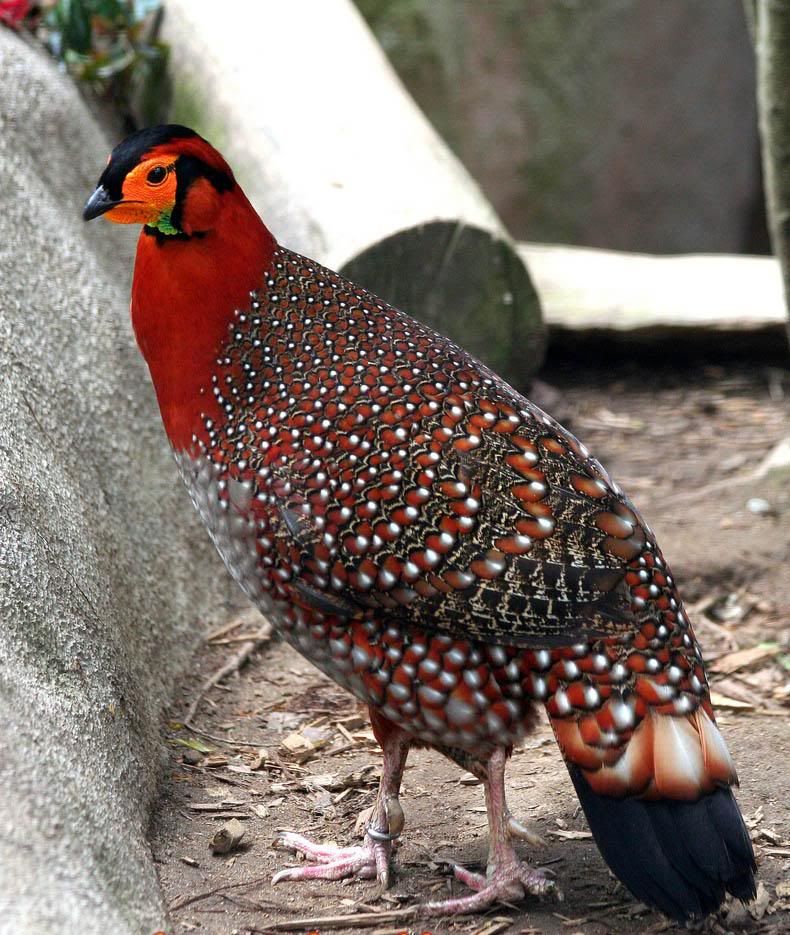 Pin on Pheasants and Peafowl