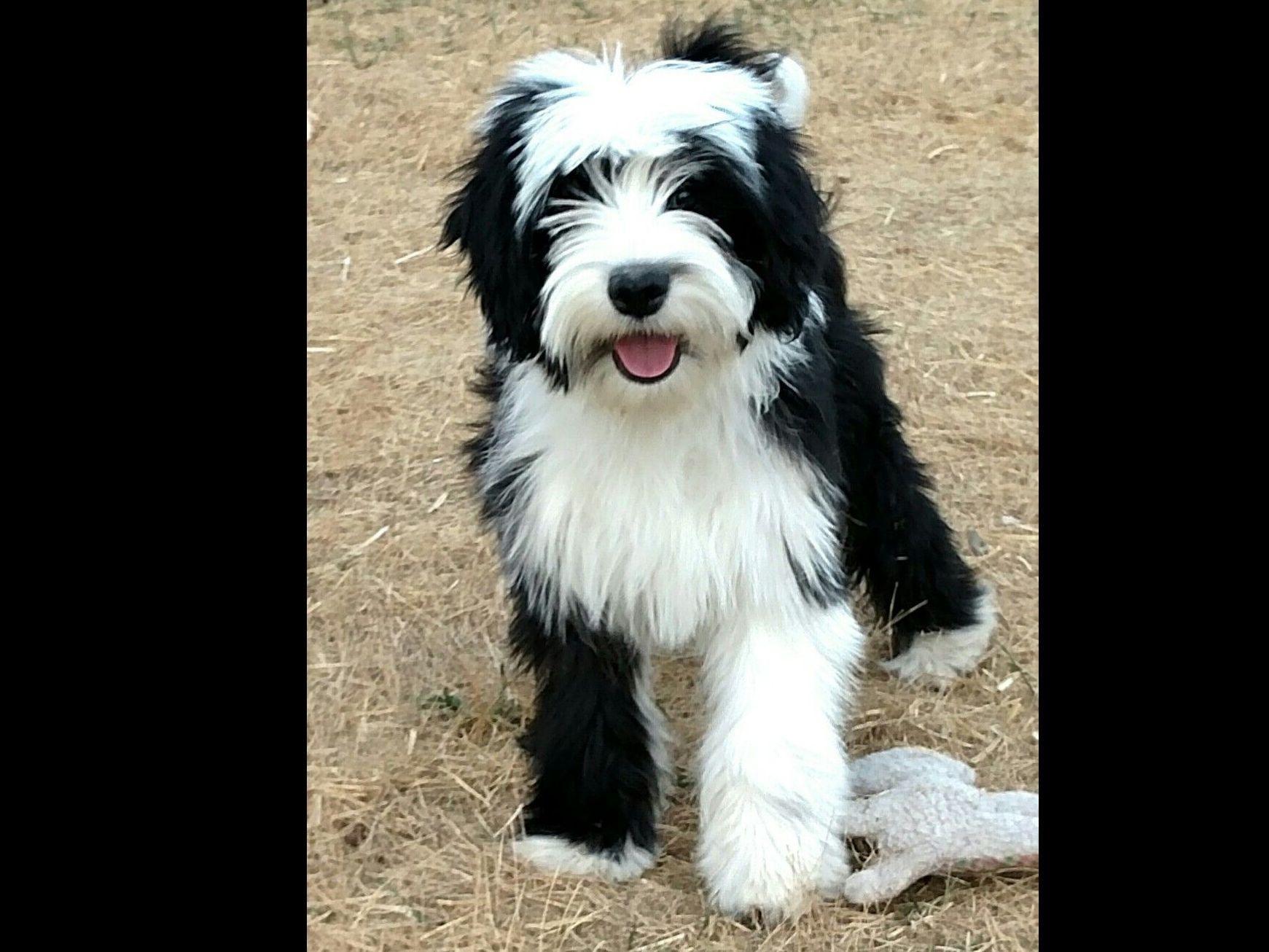Claire Coppola Rinchen Tibetan Terriers Tibetan Terrier Puppies