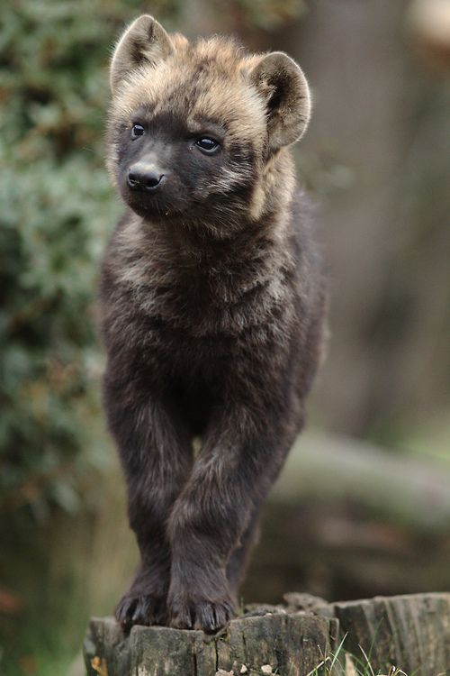 Hyena cub by zoofanatic