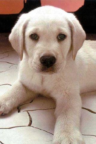 puppy lab