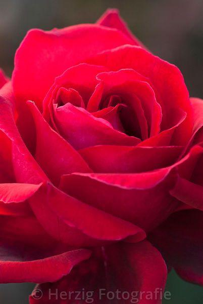 Rose - Velvet Fragrance