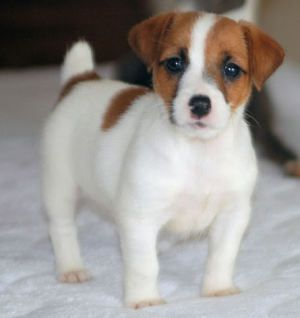 Picture Jack Russell Terrier Puppy Chiots Mignons Bebe Chien Animaux Adorables