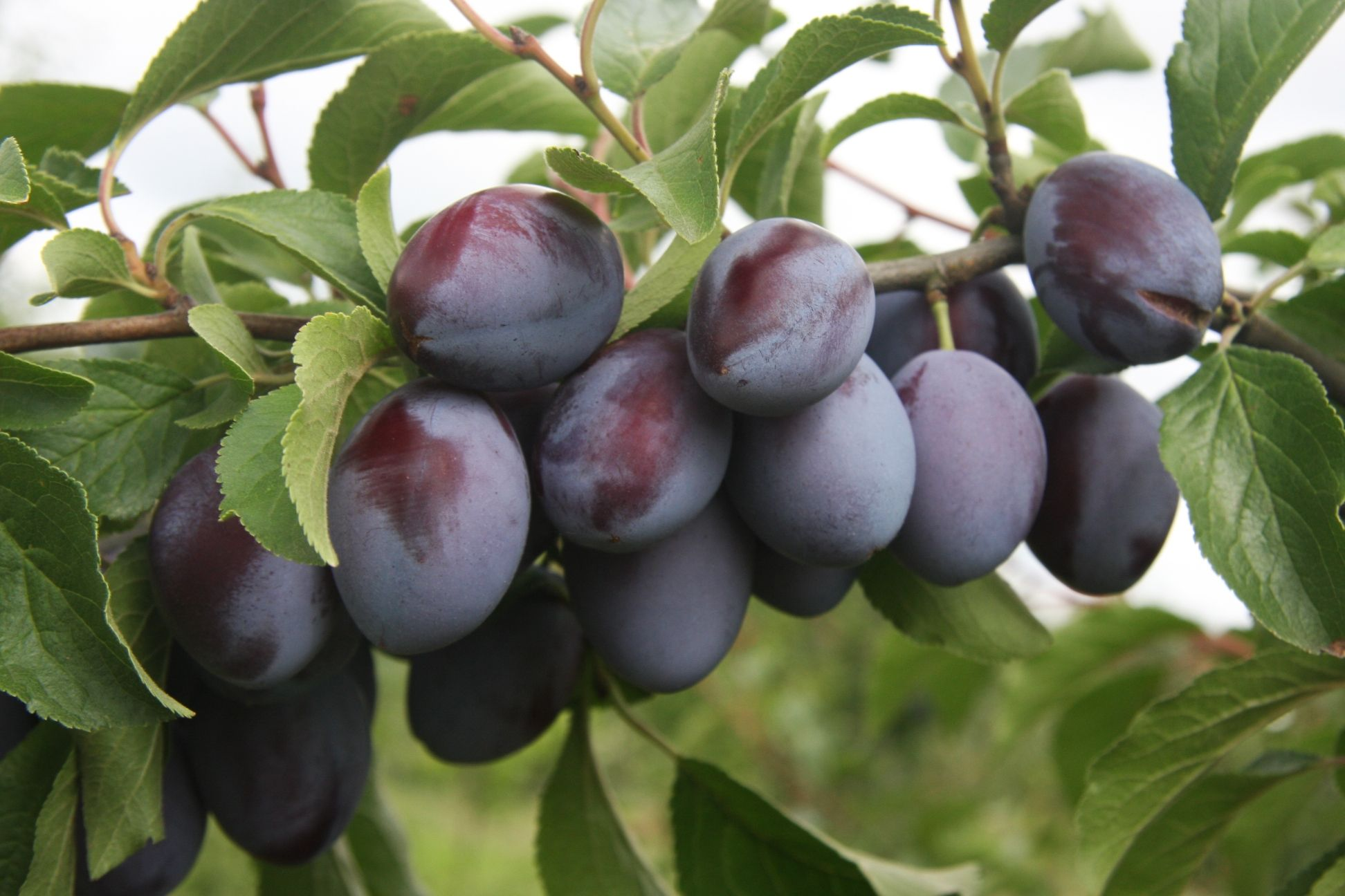 Damson Plum Small Dark Purple Black Plums With Green Flesh And A
