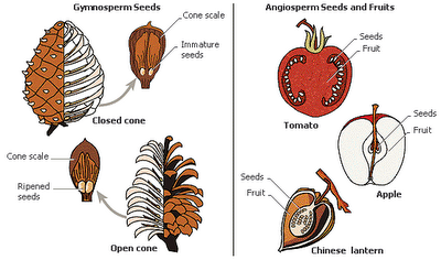 Angiosperms and gymnosperms plant life pinterest escola angiosperms and gymnosperms ccuart Image collections