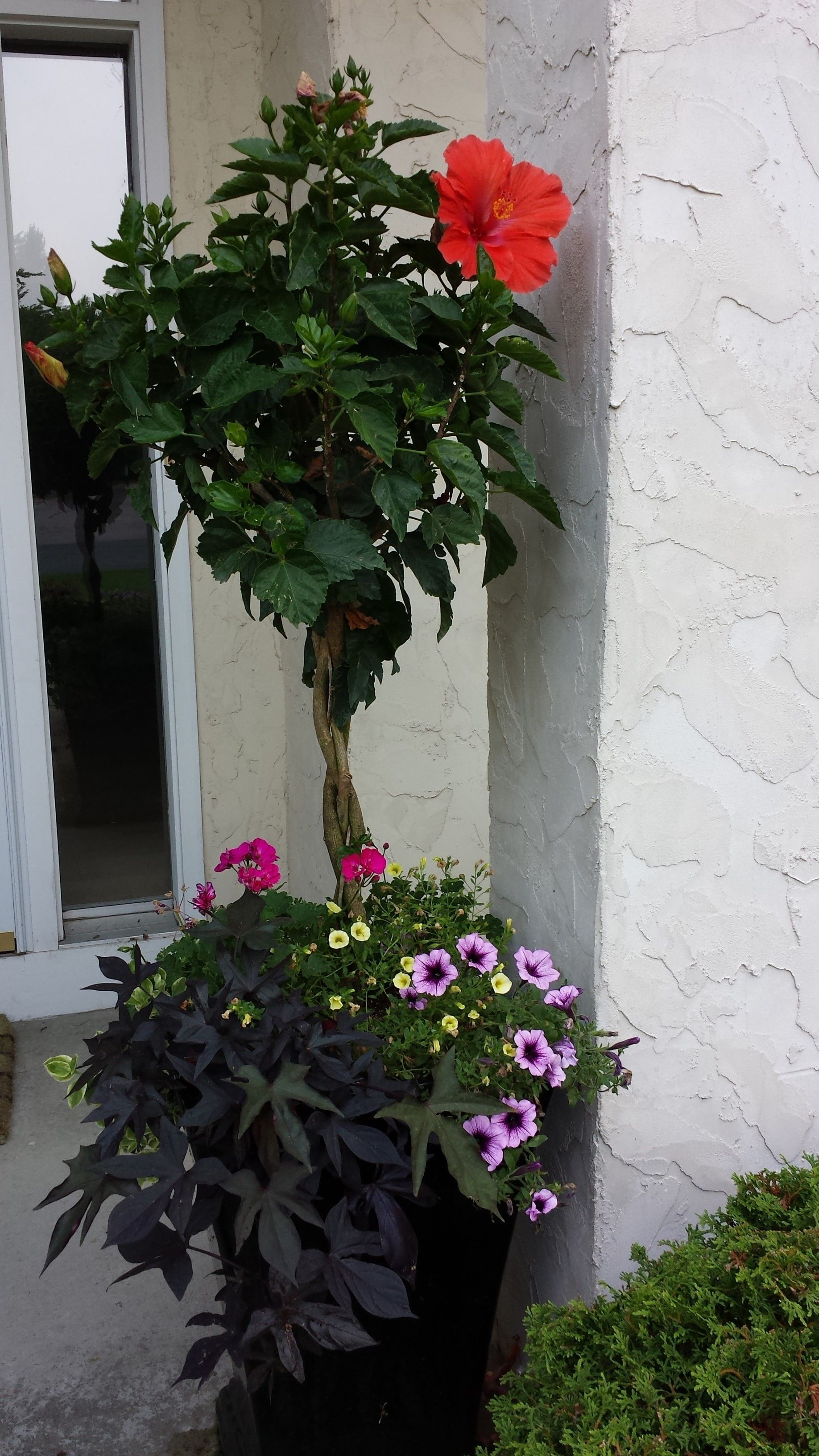 Beautiful Summer Planter With Hibiscus Purple Potato Vine And