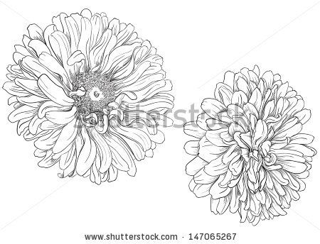 aster flower drawing | Flower hand drawn aster - stock vector