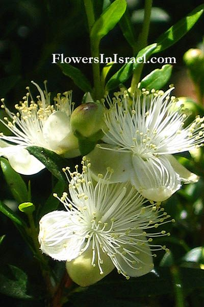Common Name Common Myrtle Flowering Period May June July August With Images Plants Myrtle Gardening Tips
