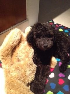 For Sale Illinois Breeder Toy Poodle Puppies Miniature Poodles