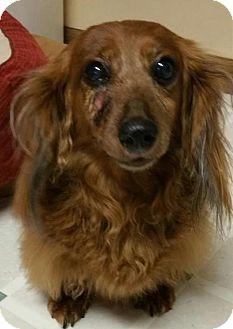 Coatesville Pa Dachshund Meet Ashley A Dog For Adoption Http