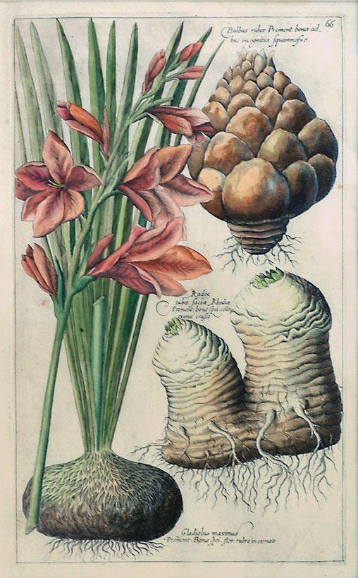 The Antiquarium - Antique Print & Map Gallery - Emanuel Sweert - Gladiolus maximus Hand-colored copperplate engraving