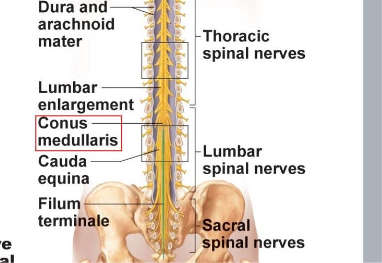Spinal Equina Google Search Afbeeldingen Looking for online definition of filum terminale in the medical dictionary? spinal equina google search