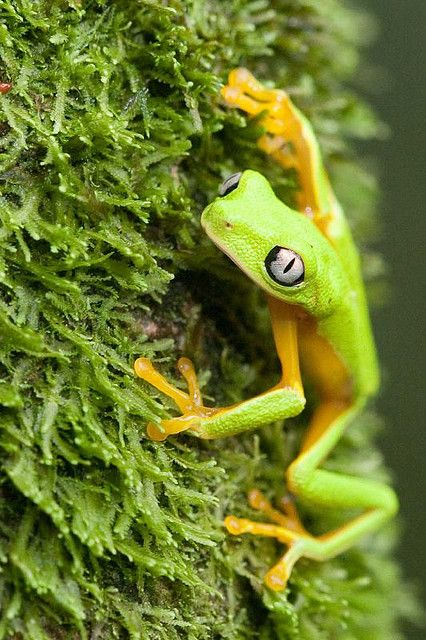 ☀Lemur Frog-8971 by Robert Lewis*