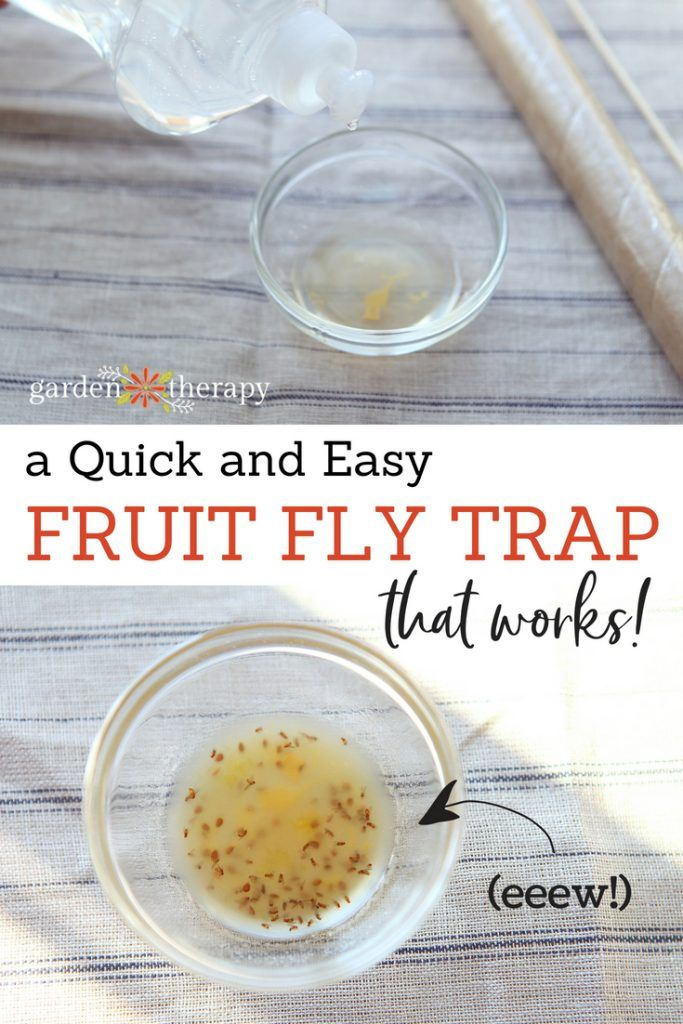 How to Make a Quick and Easy Fruit Fly Trap | Diy fruit ...