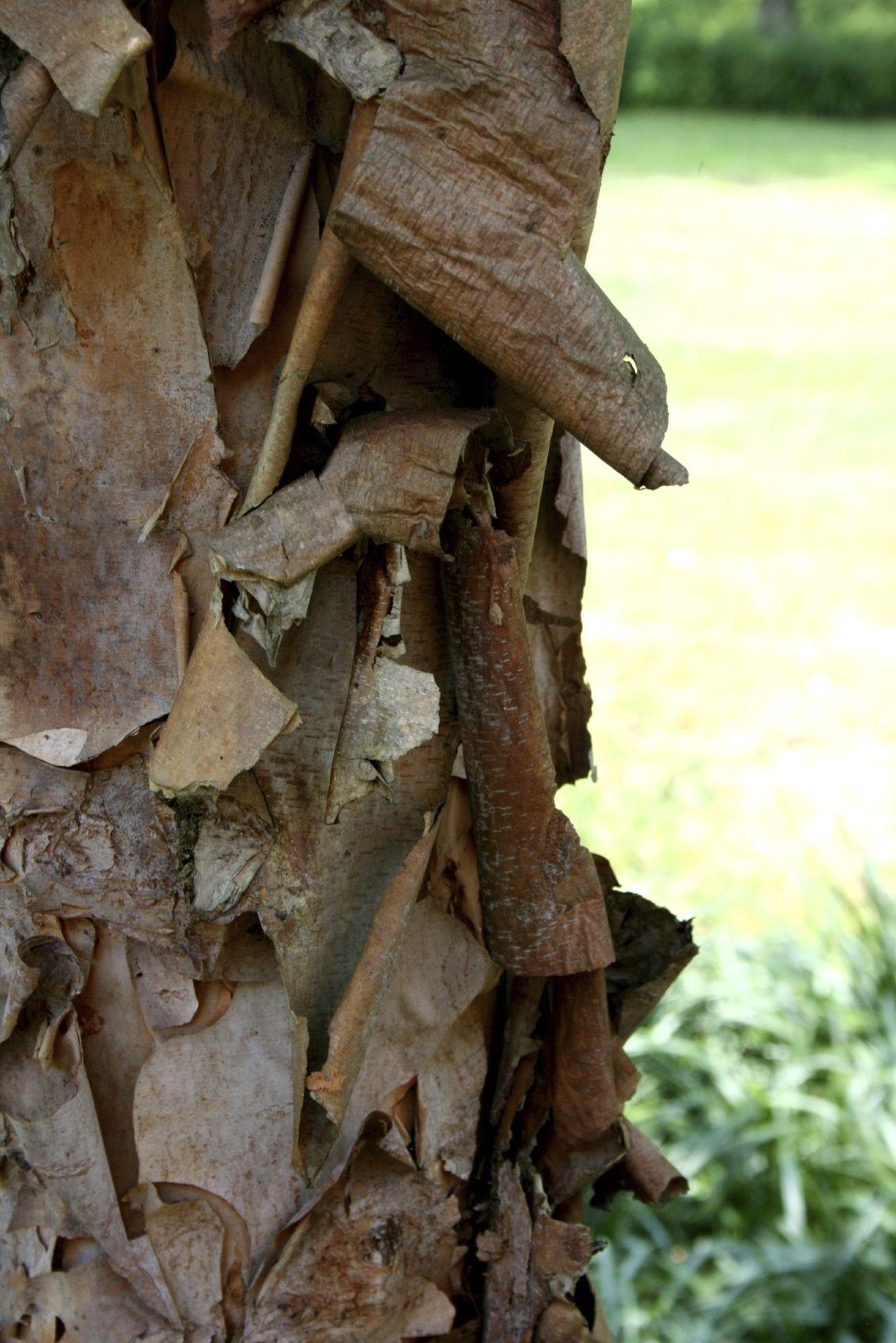 Dogwood Bark Peeling Off: Fixing Tree Bark Flaking On Dogwood Trees ...