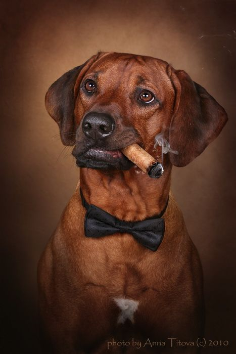 Rhodesian Ridgeback photo Rhodesian ridgeback dog