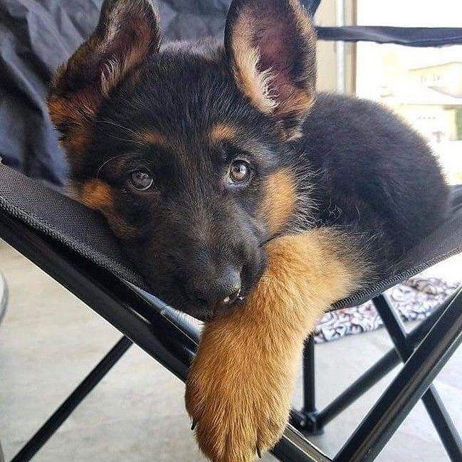 Pin von Barbara Rathmanner auf Schäferhund pup Hunde