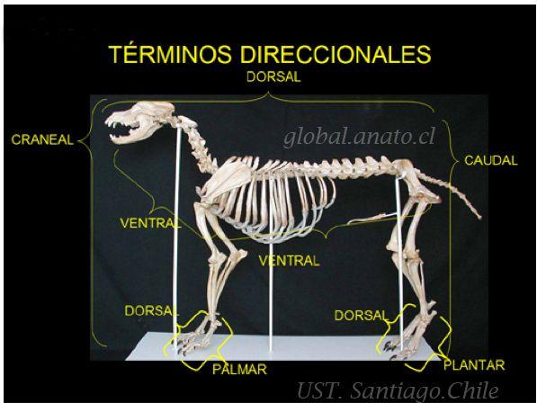 Enciclopedia de animales: Anatomia del gato. El esqueleto-on line ...
