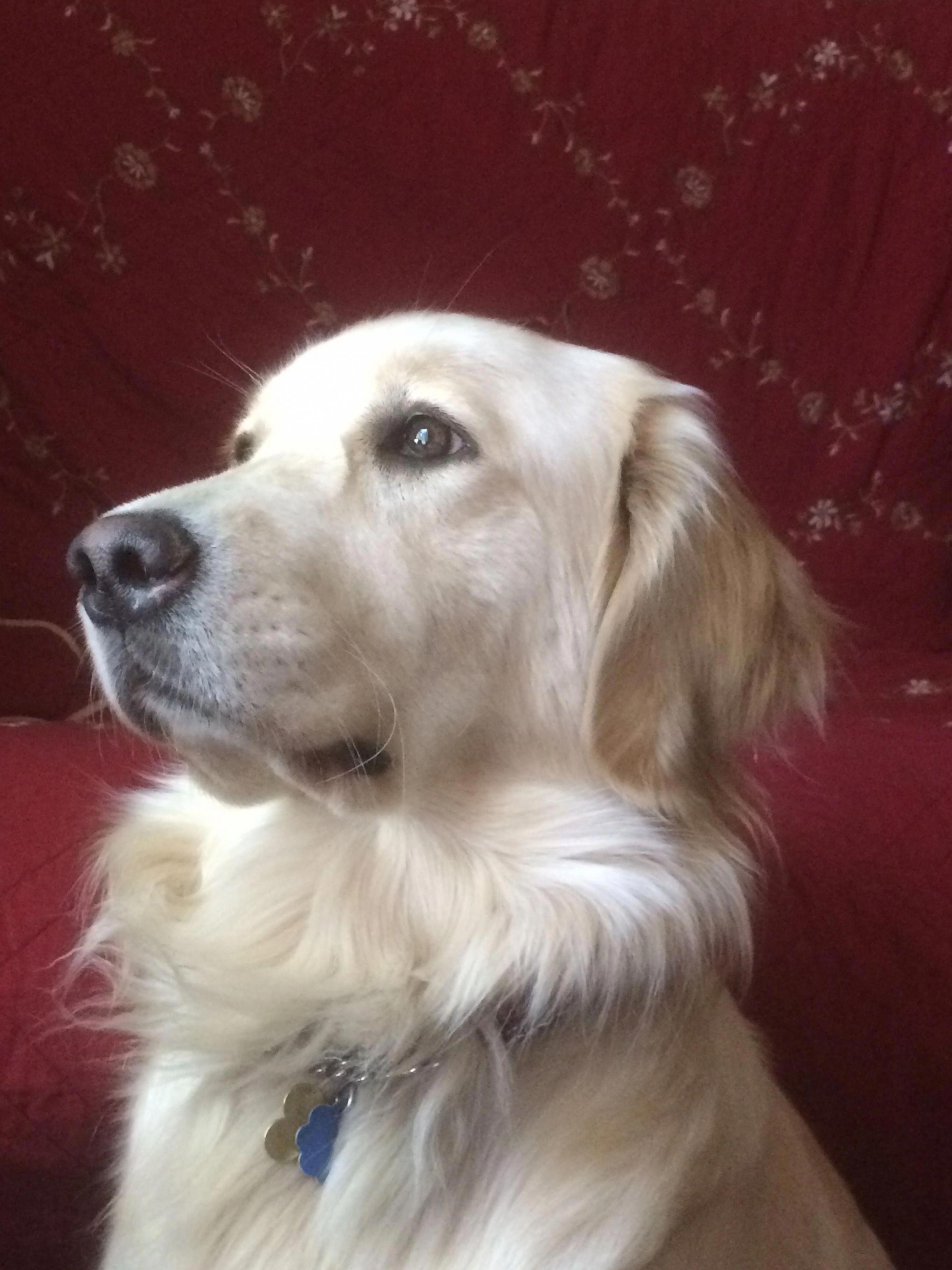 The Traits I Enjoy About The Trustworthy Golden Retriever Goldenretrieveraustralia Goldenretrieverpuppyineg Golden Retriever Dogs Golden Retriever Retriever