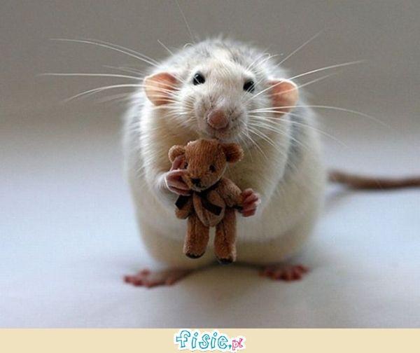 Słodkie Maleństwa Cute Rats Cute Animals Funny Rats