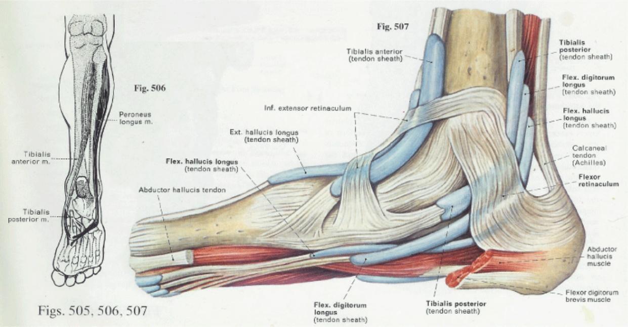 Anatomy & Physiology Illustration | Foot pain | Pinterest | Anatomía ...