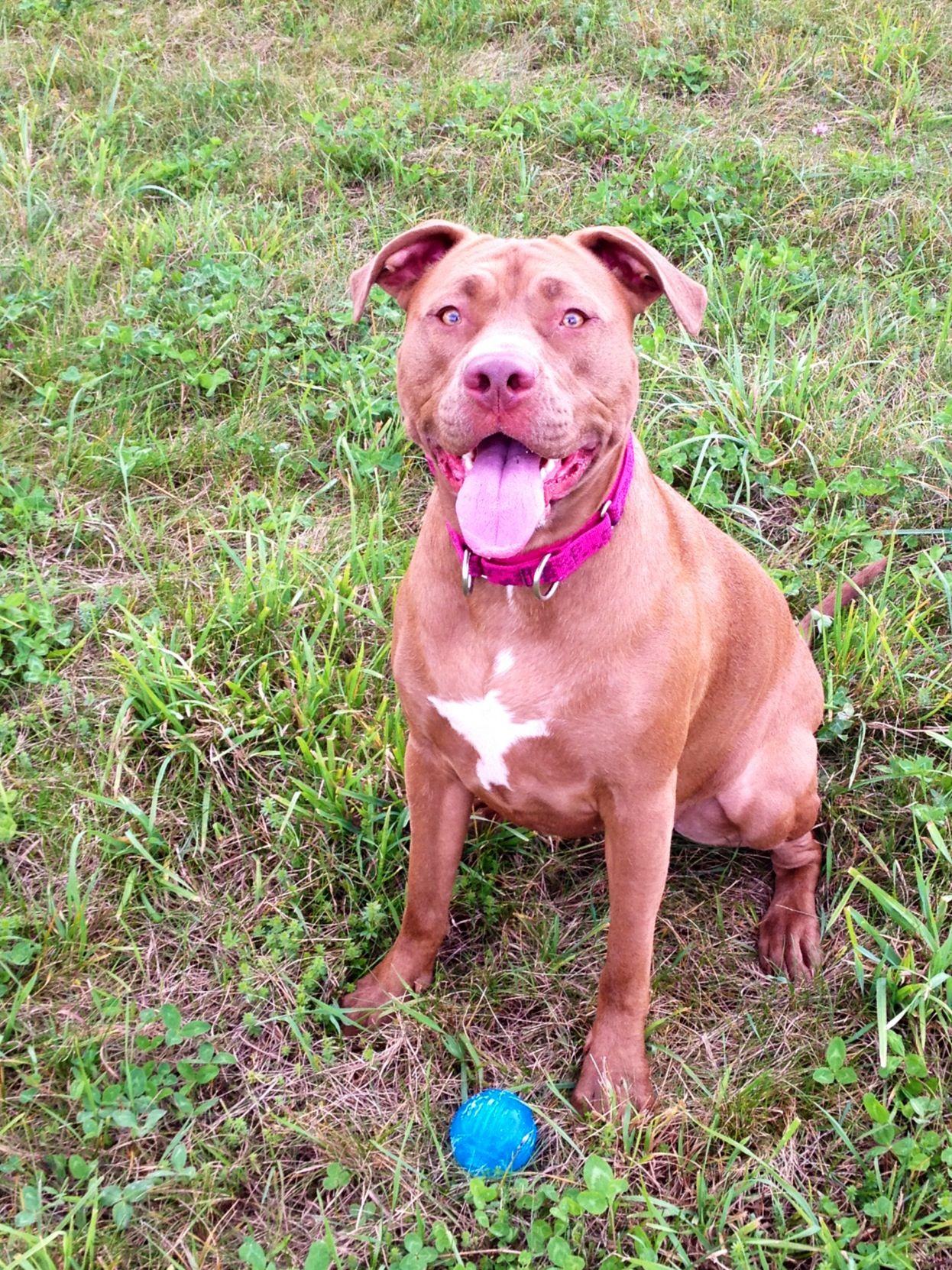 Pretty Girl Dogs Animals Pitbulls