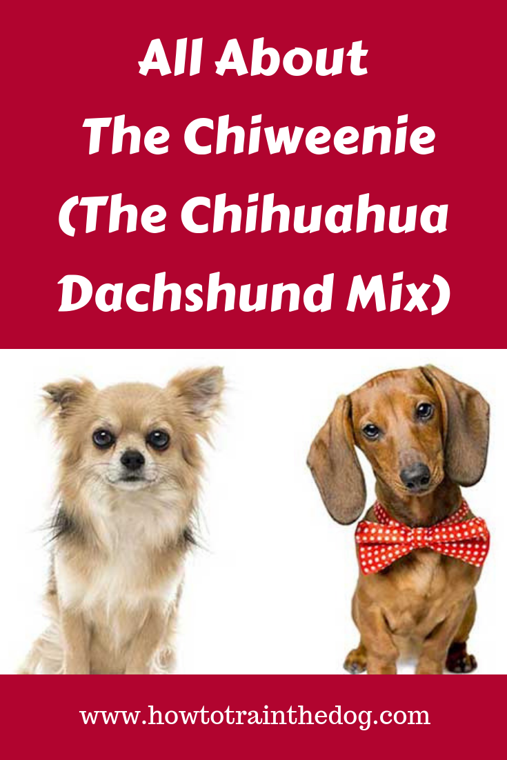 All About The Chiweenie Chihuahua Dachshund Mix Facts