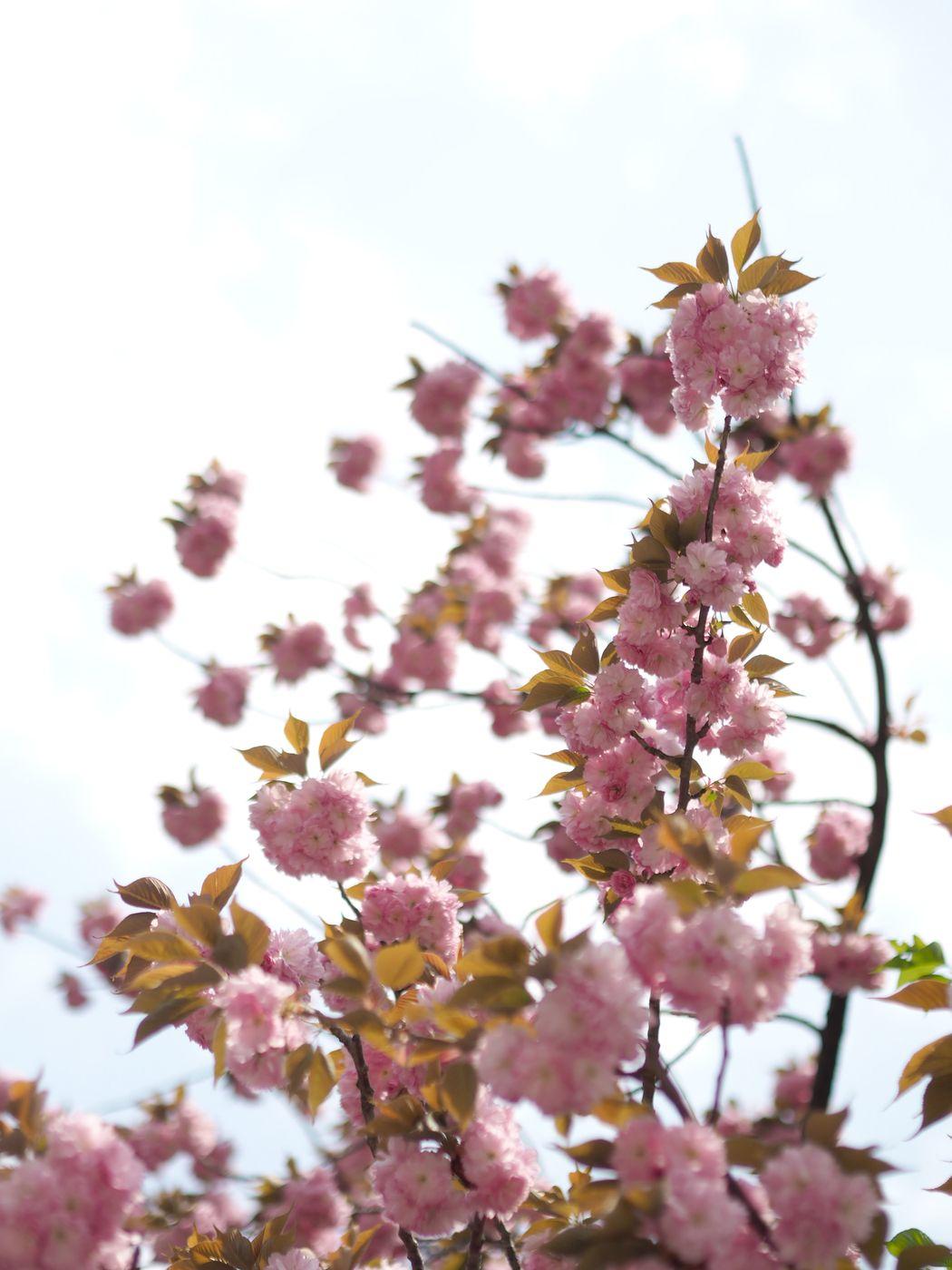 Cherry blossoms in Tokyo | Pupulandia