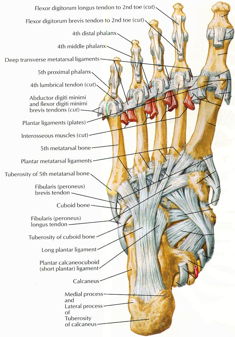 ligaments and tendons of foot netter | anatomia | Pinterest ...