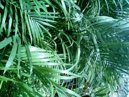 Taking Care For Areca Palm Indoor Palm Trees Majesty