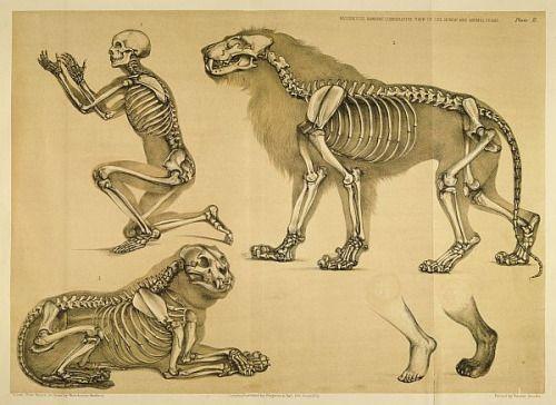 Anatomía comparada del hombre y del león. Fuente:A Comparative View ...