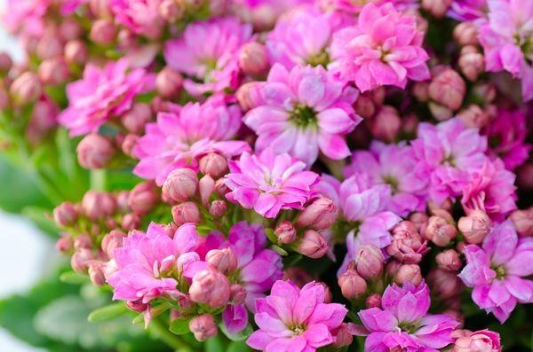 Kalanchoe Flowers Plants Rose