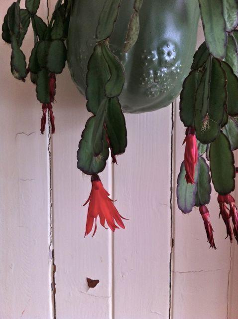 Hengeplante