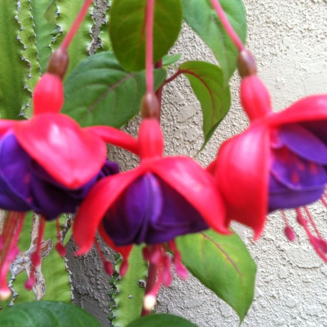 Fuschia blooms open...this is for
