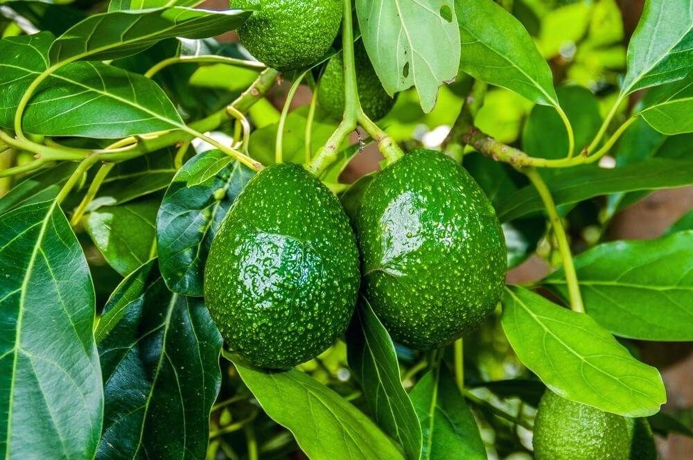 10 Easy Tips To Growing Avocado In Pots The Gardening Dad Grow Avocado Avocado Plant Growing An Avocado Tree