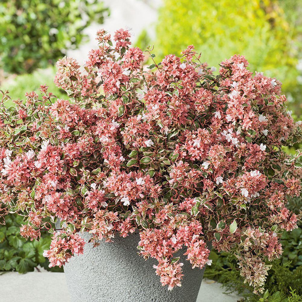 Abelia Grandiflora Magic Daydream Opstal103 Pbr Flowers