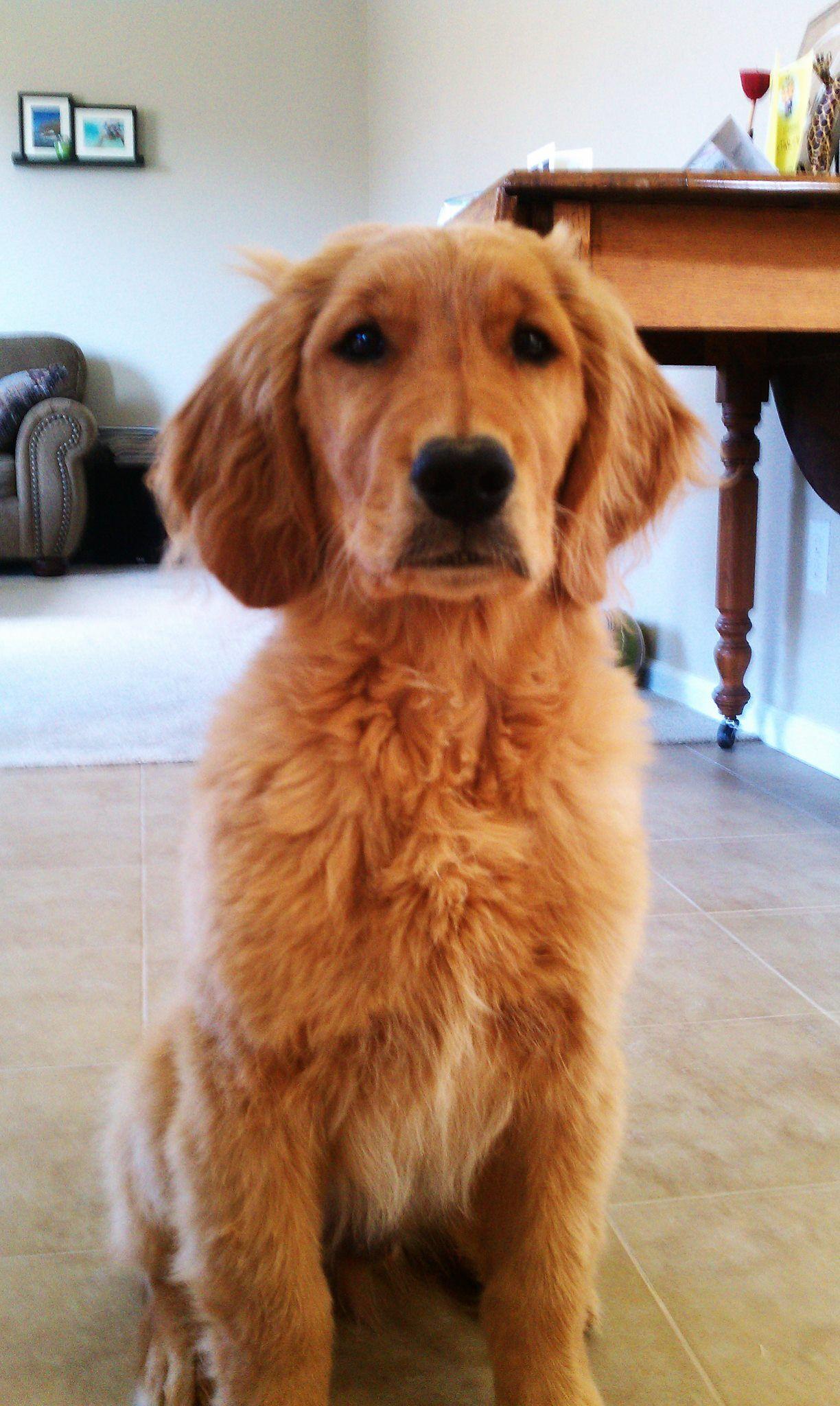 Golden Retriever Denver S Water Mustache Cutest Dog I Ve Ever