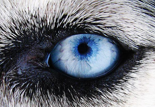 Dogs Eye By Timphotography On Deviantart Husky Eyes Dog Eyes