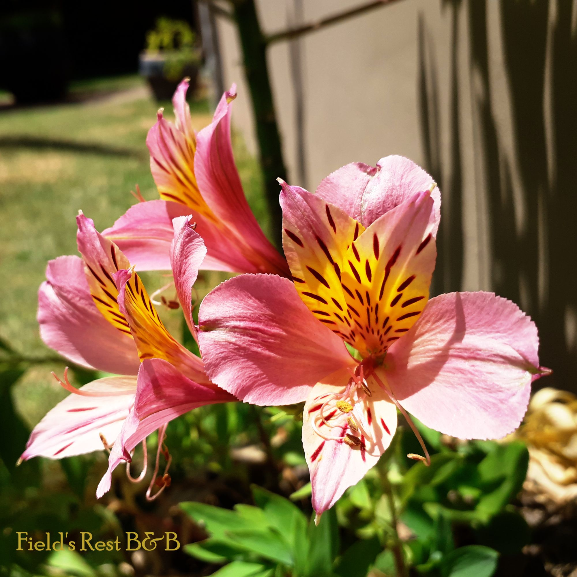 Inca Lilies Alstroemeria Water Wise Landscaping Beautiful Flowers Alstroemeria