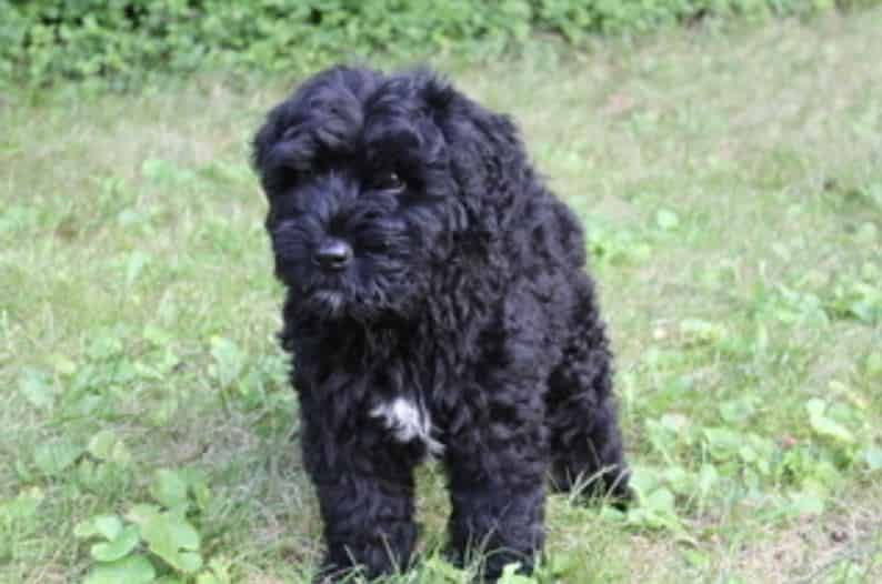 Bouvier Des Flandres Puppies Bouvier Des Flandres Puppy Photos Bouvier Des Flandres Puppies Pictures Care Trainin Bouviers Des Flandres Puppies Puppy Photos